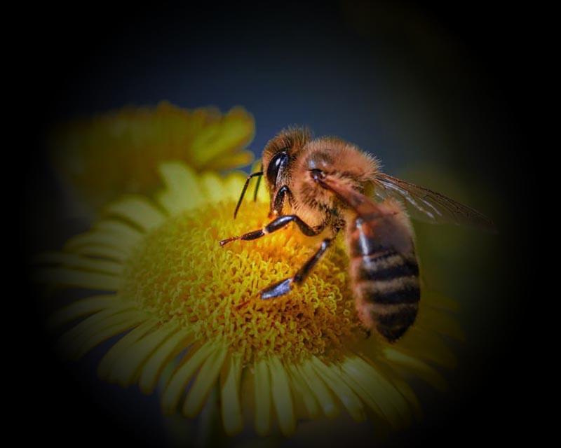 Colapso das abelhas