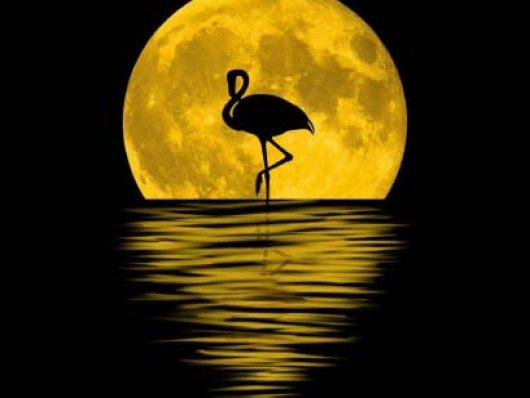 Flamingo negro pode ser o único da espécie observado até agora na natureza